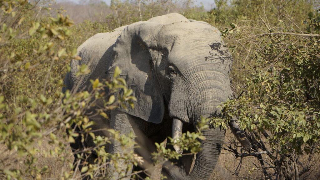 Elefant in Nahaufnahme