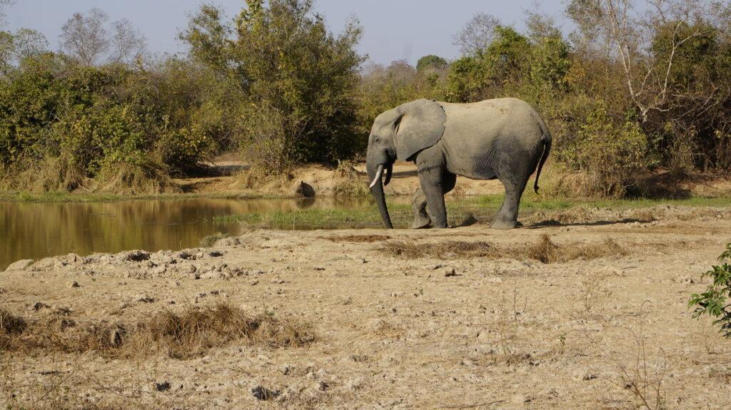 Elefant beim Trinken am Tümpel
