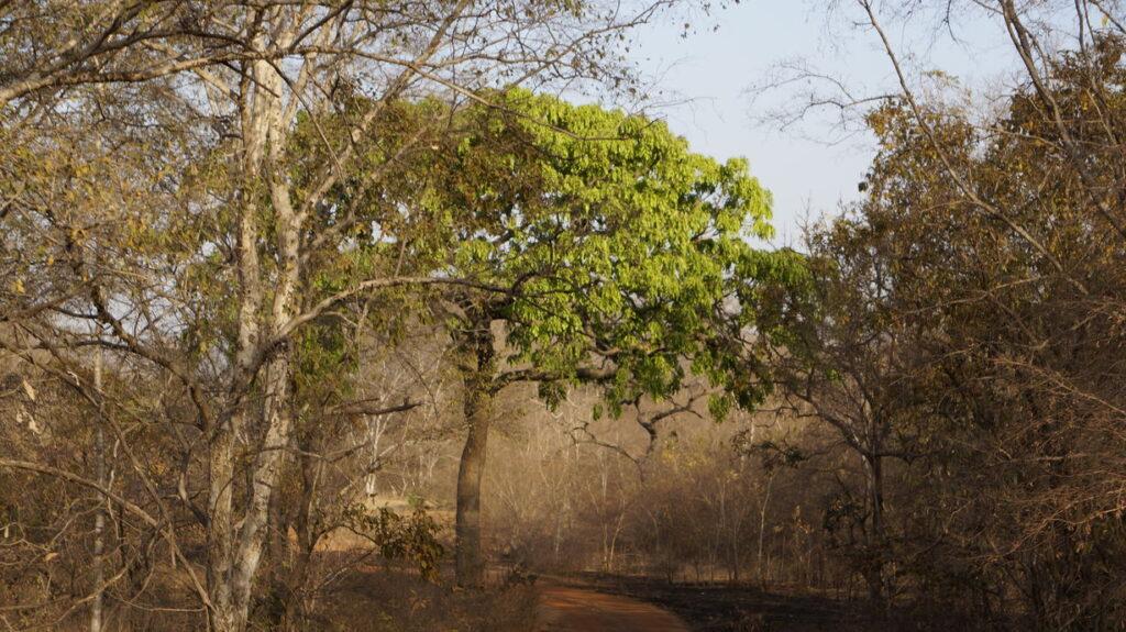 Ein perfekt an das Klima angepasster Baum